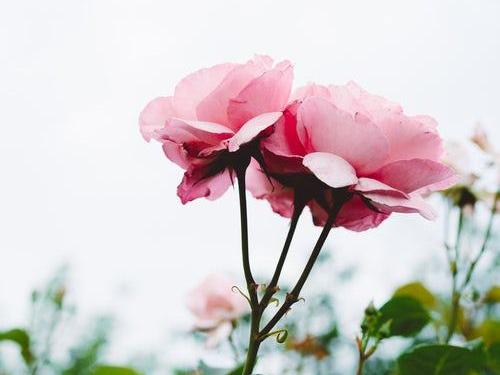 die schönen rosen blog anarchie test