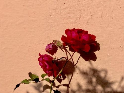 die schönen rosen blog politikerinnen sind patriarchatsgehilfinnen