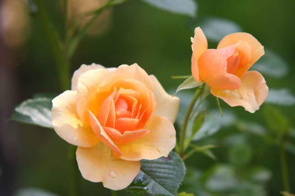 die schönen rosen blog geschichten aus dem patriarchat zu corona zeiten
