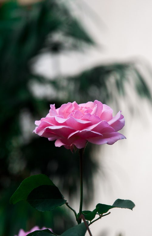 die schönen rosen blog - geschichten aus dem patriarchat zu corona-zeiten teil 18 alles auf dem prüfstand