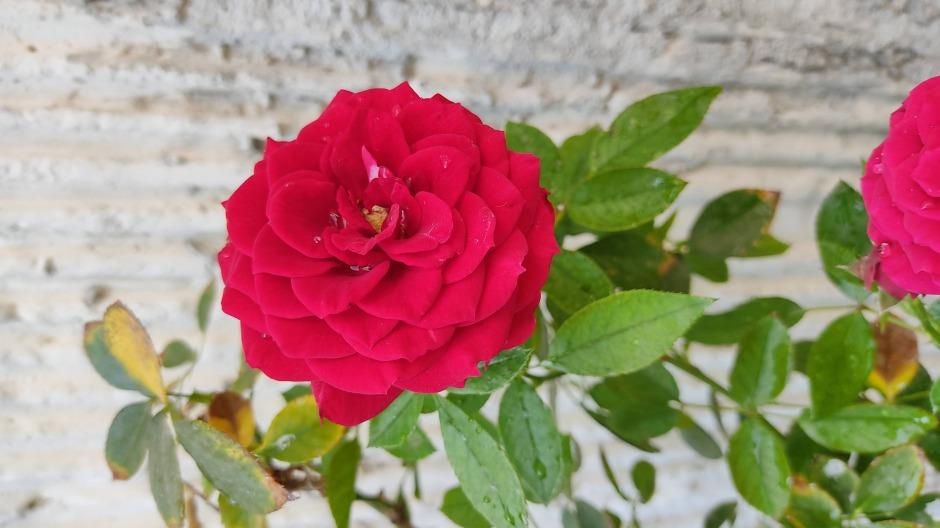 die schönen rosen blog - ein rätsel (gedicht)
